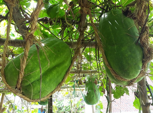 binh dinh villages giant winter melons