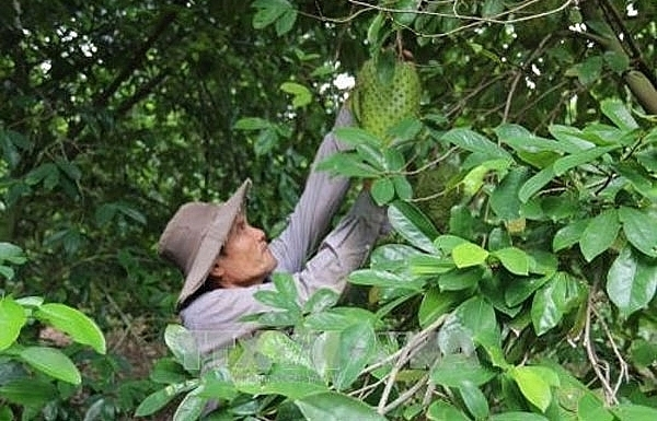 mekong delta islet gives up rice switches to soursop