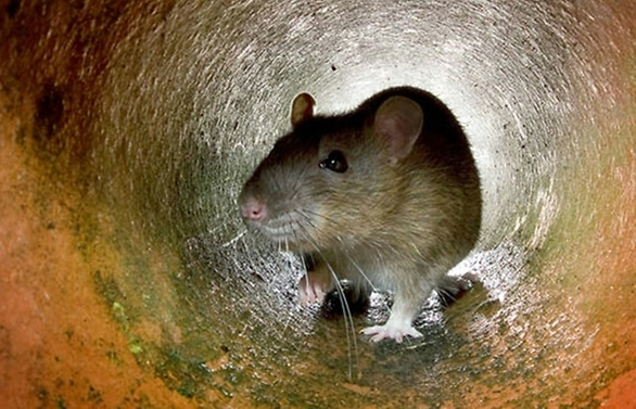 rats break into atm munch through us 18000 in cash