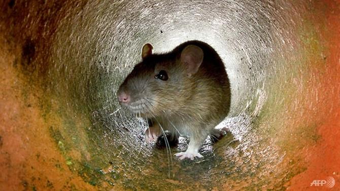 rats break into atm munch through us 18000 in cash