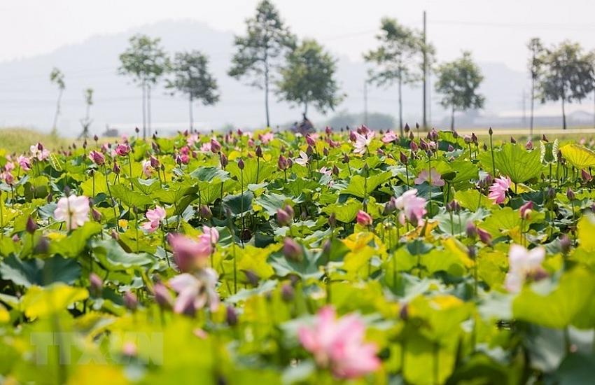 lotus pond in uncle hos hometown