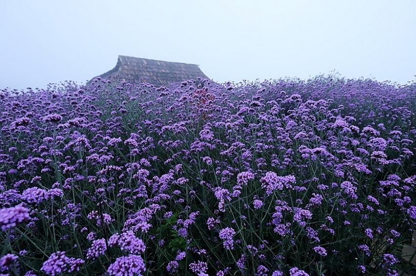 fansipan mountain the season of verveine flowers