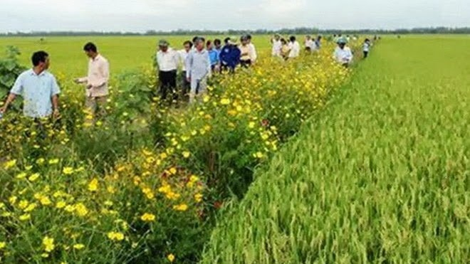 mekong farmers plant high yield japanese rice