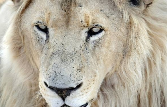 fair game lions eat poachers on south africa reserve