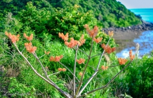 beautiful firmiana simplex flowers in cham island
