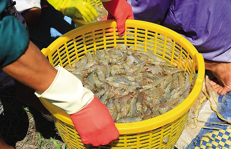 mekong delta shrimp crops a sweet success