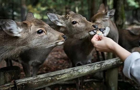 nine deer dead in japans nara park after eating plastic wildlife group