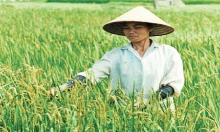 chinas appetite for local rice