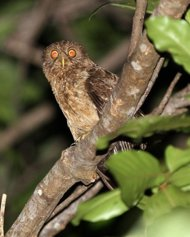 new owl species discovered in philippines