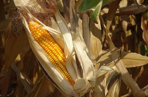 Four GM corn traits receive food and feed safety certificates
