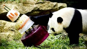 Icy treat for panda stars' birthday in Dutch zoo