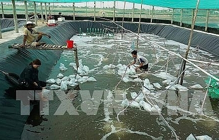 kien giang has ambitious plans for industrial shrimp farming