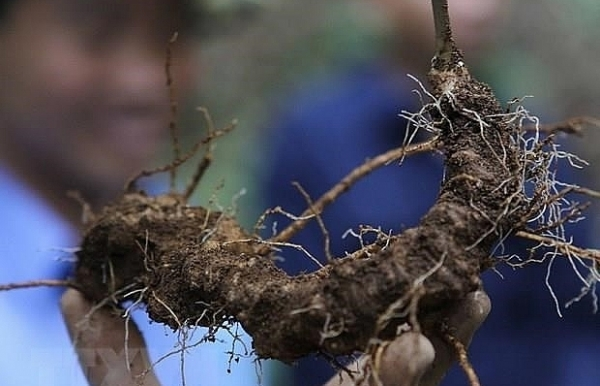 quang nam improves value of ngoc linh ginseng