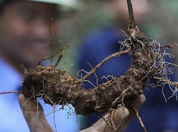 quang nam improves value of ngoc linh ginseng