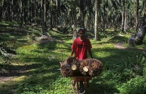 eu palm oil ban sows bitter seeds for southeast asian farmers