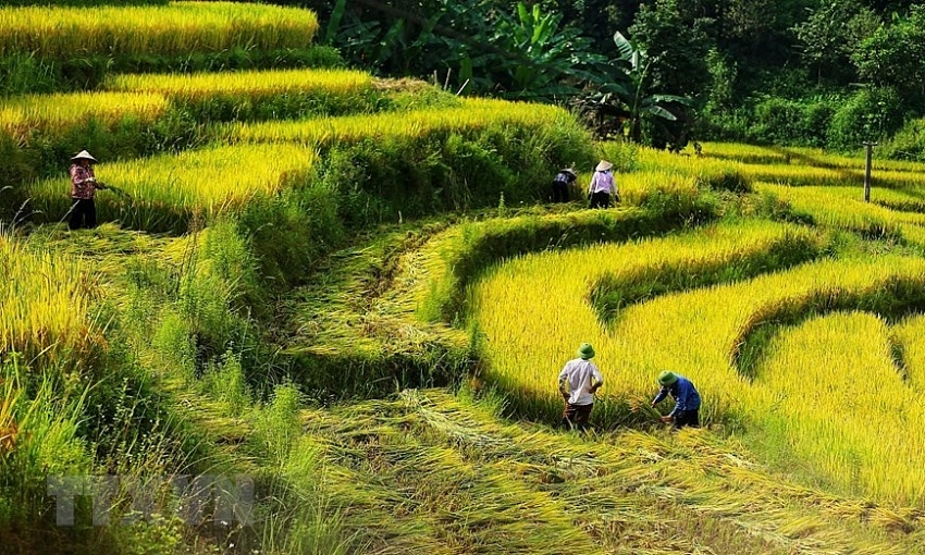 season of ripening rice in y ty commune
