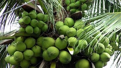 coconut palms symbol of ben tre