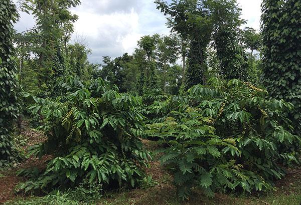 nescafe plan project doubles farmers income