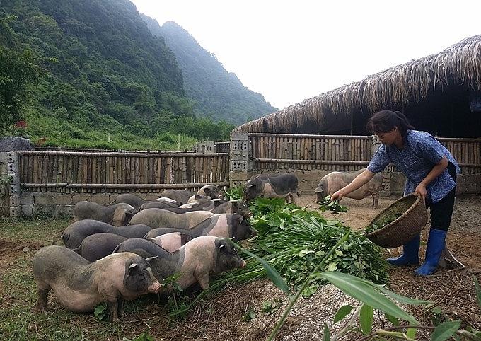 tea pork farm makes a big hit in ninh binh