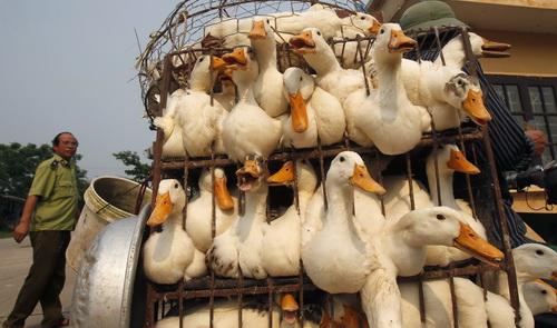 Tien Giang declares H5N1 bird flu epidemic