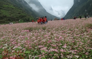 buckwheat flower festival in ha giang promises diverse activities