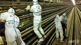 Japan culling 210,000 birds amid spreading avian flu