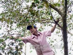 Tien Giang star-apple fruit breaks into US market
