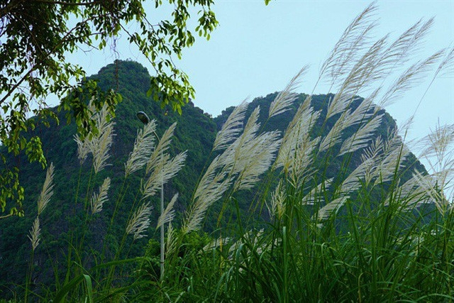 stunning white grass flower fields in ninh binh