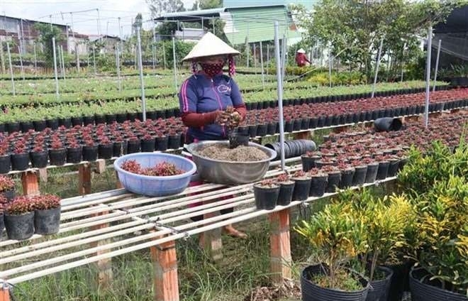 flower farmers prepare for tet holiday market