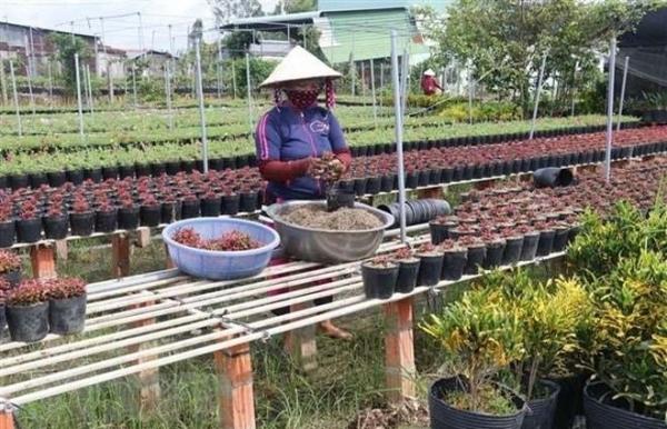 flower farmers prepare for tet holiday market