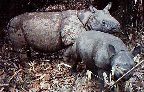 indonesia tsunami raises fears for endangered javan rhino