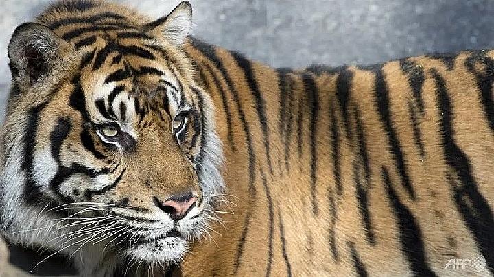 sumatran tiger kills farmer in indonesia
