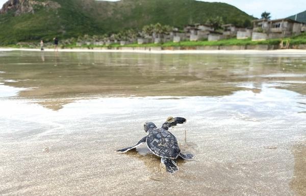 con dao island a serene home for precious turtles