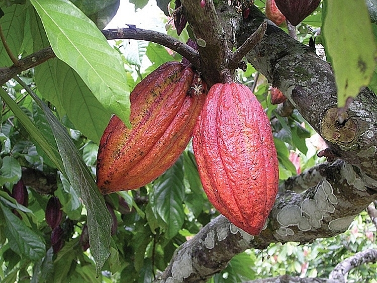 belgium supports vietnams unique cocoa to take its spot in world market
