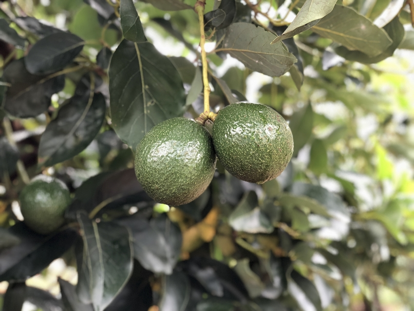 dak nong avocado gets new zealand support for exports