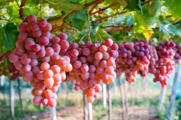 vietnam grows as key importer of australian grapes