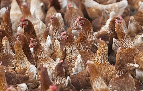 avian flu outbreaks in early 2018