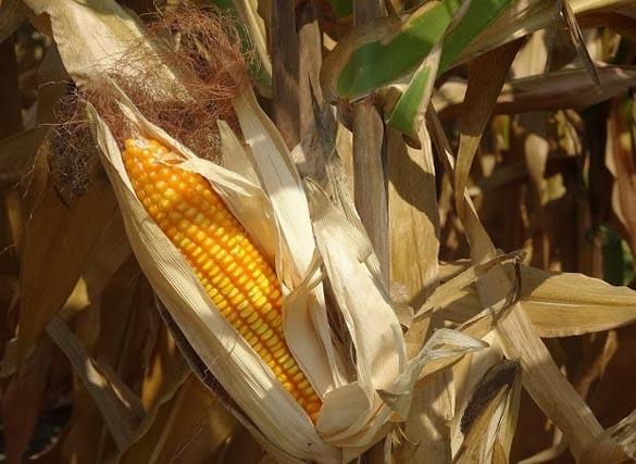 New generation corn turns around countryside poverty