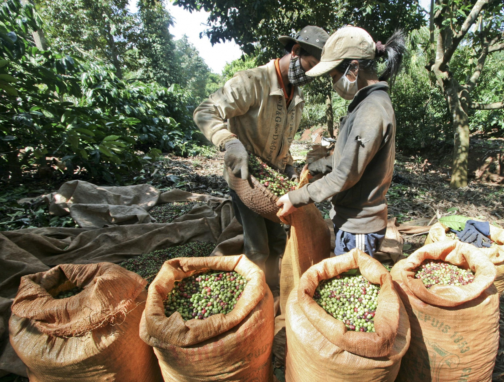 coffee to be restructured for higher quality production