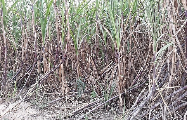 cane farmers call for help after sealing off bisuco