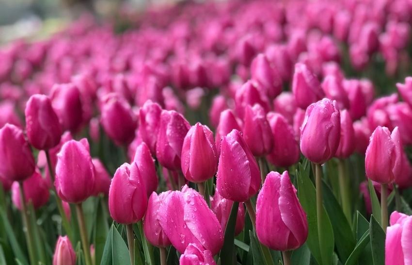180000 dutch tulip flowers blossom in vietnam