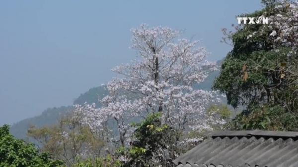 Ban flowers bloom across Dien Bien