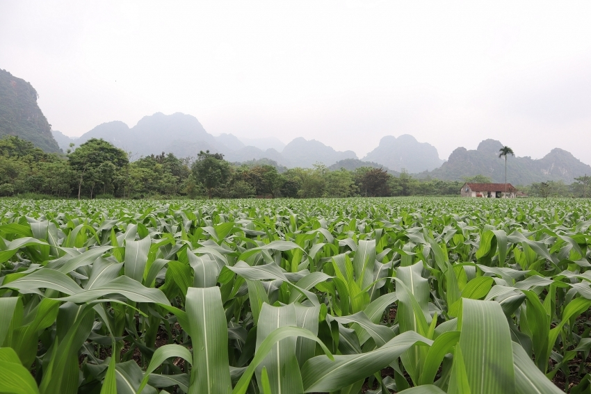 Bayer Vietnam recommends effective integrated pest management to tackle fall armyworm