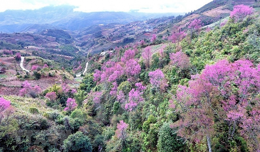 to day blossoms brighten up mu cang chai mountainous area