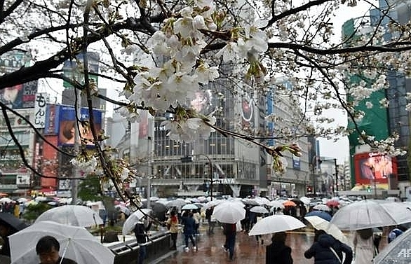 invasive beetle threatens japans famed cherry blossoms