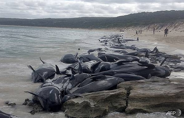 more than 130 pilot whales die in mass australia beaching