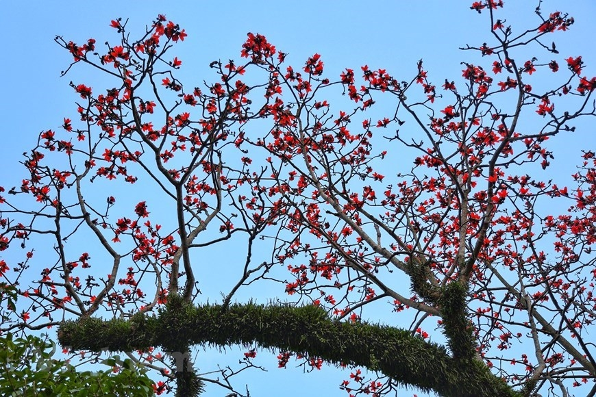 red silk cotton flowers in full bloom
