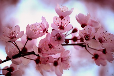 japanese cherry blossom festival to open in ha long