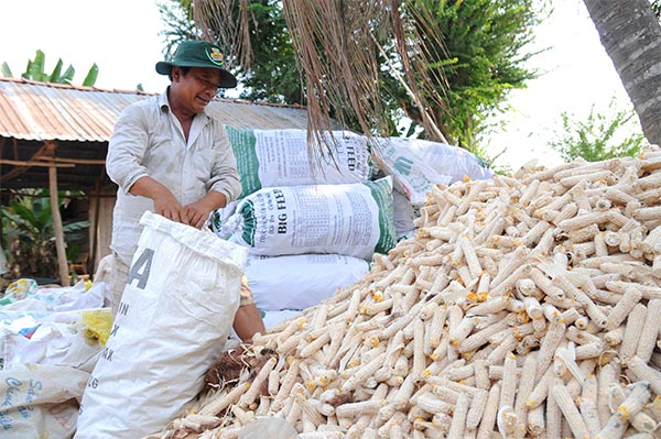 Genetically modified corn seeds introduced to Vietnamese farmers