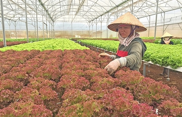 Greenhouses damage Dalat's scenery and climate